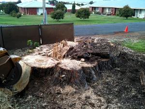 stump grinding a large stump
